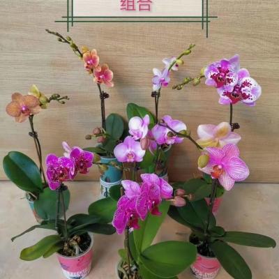 2.8寸蝴蝶蘭